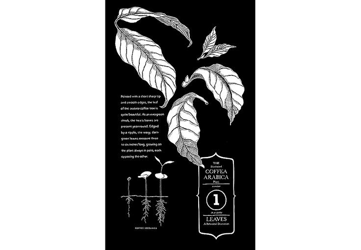 Botanical Plate of coffee leaves and their habit, Chalk pen, Starbucks Coffee Co.