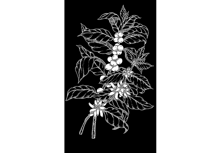 Illustration of coffee flowers and cherries on branch, Chalk pen, Starbucks Coffee Co.