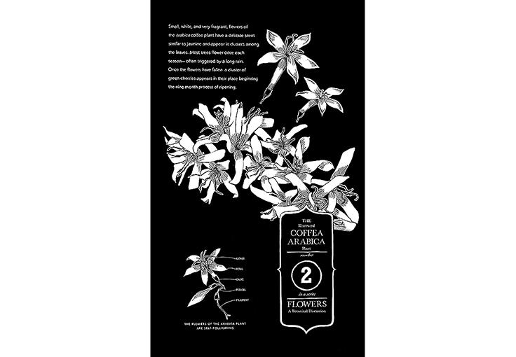 Botanical Plate of coffee flowers and their habit, Chalk pen, Starbucks Coffee Co.